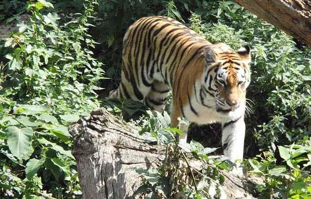 Тигр в Антверпенском зоопарке