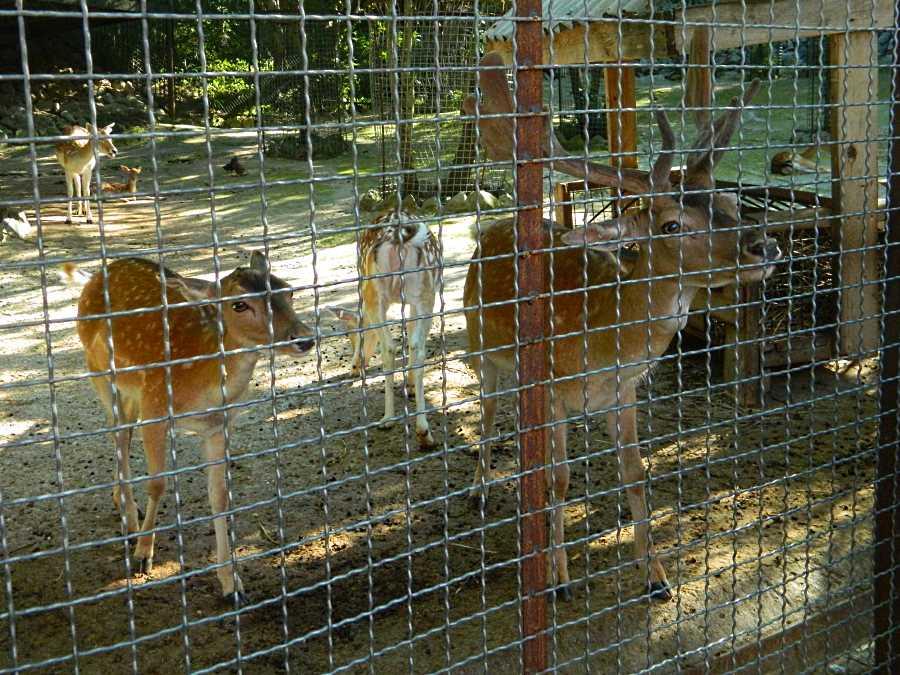 Олени в зоопарке