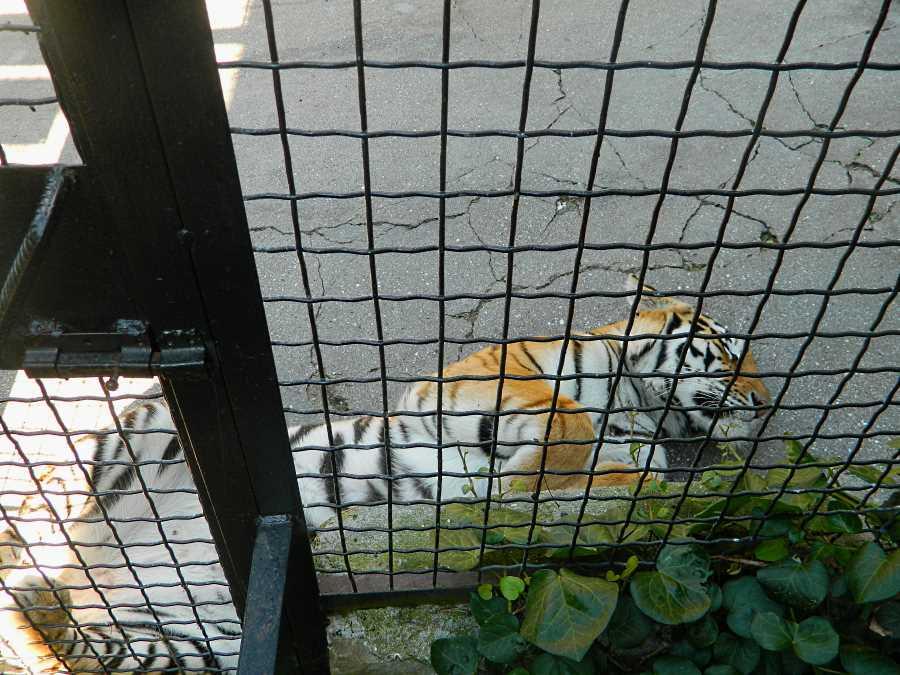 Тигр отдыхает)